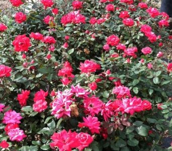 Knockout Rose Bush in Springfield MO, Jerome H. Schaffitzel Greenhouse