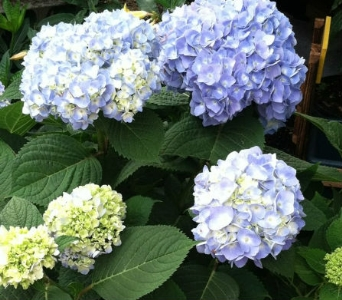 Nantucket Blue Hydrangea in Springfield MO, Jerome H. Schaffitzel Greenhouse