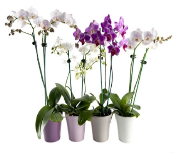 Phalaenopsis Orchid in Manotick ON, Manotick Florists