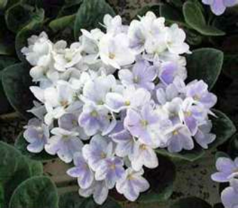 African Violet 6in in Nashville TN, Emma's Flowers & Gifts, Inc.