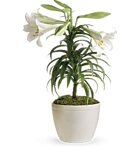 Easter Lily Plant in Minot ND, Flower Box