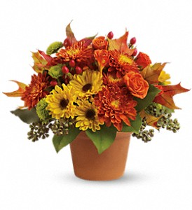 Sugar Maples in Mount Airy NC, Cana / Mt. Airy Florist