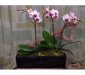 Mini Phal Orchid Plants with Driftwood in West Los Angeles CA, Westwood Flower Garden