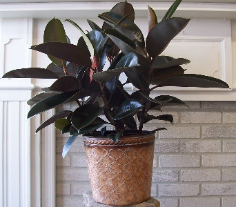 Rubber Tree Plant in Dubuque IA, Butt's Florist