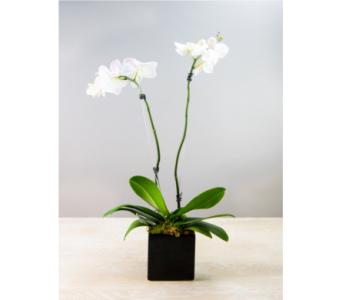 Double Spike Orchid in Decorative Container in Little Rock AR, Tipton & Hurst, Inc.