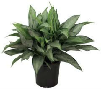 Chinese Evergreen in Nashville TN, Emma's Flowers & Gifts, Inc.