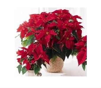 Red Poinsettia  in Charleston SC, Tiger Lily Florist Inc.