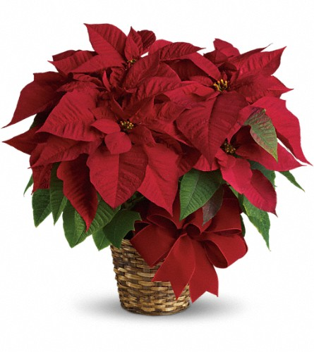 Local Delivery Poinsettia Plant in Big Rapids, Cadillac, Reed City and Canadian Lakes MI, Patterson's Flowers, Inc.