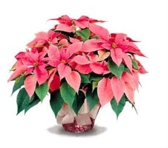 Pink  Poinsettia  in Charleston SC, Tiger Lily Florist Inc.