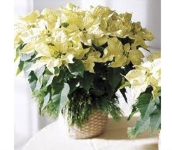 White Poinsettia in Charleston SC, Tiger Lily Florist Inc.