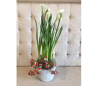 Festive Paperwhites in Charleston SC, Tiger Lily Florist Inc.