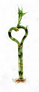 Lucky Bamboo Heart in Guelph ON, Patti's Flower Boutique