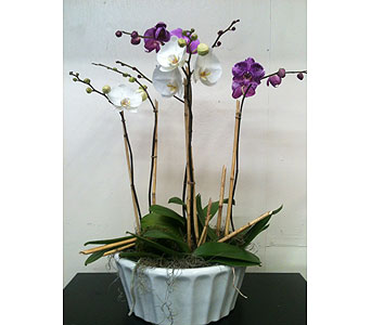 Phaleanopsis Orchid Planter in Naples FL, Driftwood Garden Center & Florist