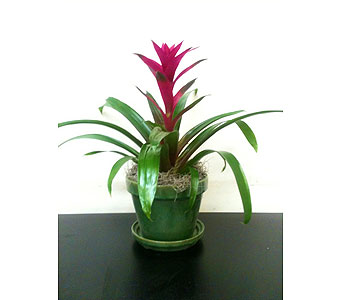 Bromiliad Plant