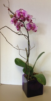 Valentines Day Orchid Plant in Lubbock TX, House of Flowers