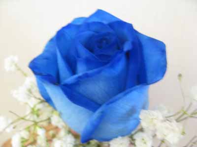 Blue Roses Bouquet in Nepean ON, Bayshore Flowers