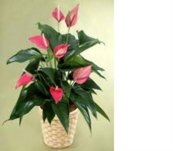 Anthurium Plant in St. Petersburg FL, Artistic Flowers