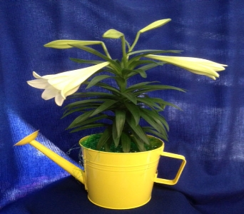 Easter Lily in a Watering Can in Kimberly WI, Robinson Florist & Greenhouses