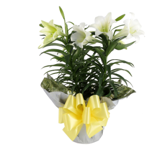 Easter Lily Triple Stem in Southfield MI, Thrifty Florist