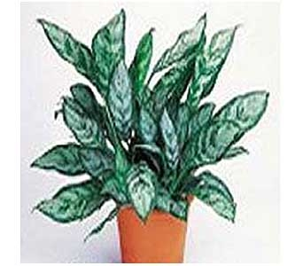 Chinese Evergreen in San Antonio TX, Allen's Flowers & Gifts