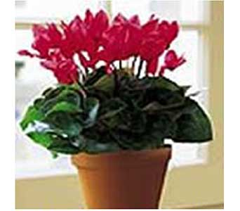 Cyclamen Plant in San Antonio TX, Allen's Flowers & Gifts