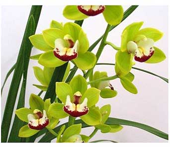 Cymbidium Orchid Plant in San Antonio TX, Allen's Flowers & Gifts