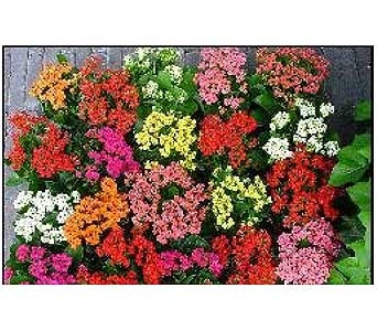 Kalanchoe Plant in San Antonio TX, Allen's Flowers & Gifts
