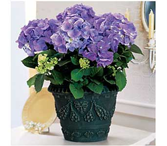 Blue Hydrangea in San Antonio TX, Allen's Flowers & Gifts