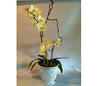 Phaleanopsis in Guilford CT, Guilford White House Florist