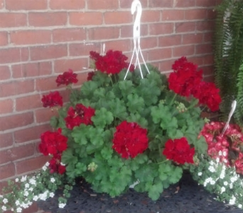 Hanging Geranium Basket in Huntington IN, Town & Country Flowers & Gifts