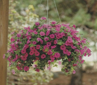 Hanging Petunia Basket in Metropolis IL, Creations The Florist