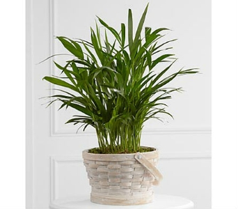 The FTD® Deeply Adored™ Palm Planter in San Clemente CA, Beach City Florist