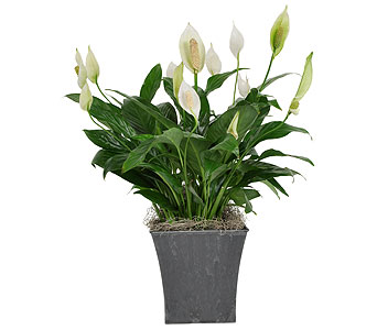 Peace Lily in a Slate Gray Pot in Madison WI, Felly's Flowers