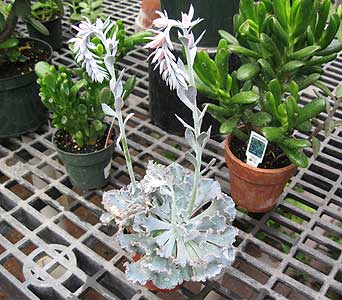 Succulents in Blue Bell PA, Country Flower Shoppe
