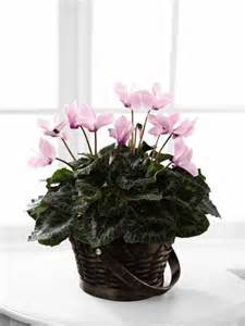 Pink Cyclamen in Daly City CA, Mission Flowers