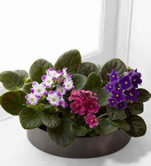 African Violets in Daly City CA, Mission Flowers