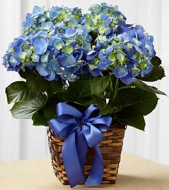 Blue Hydrangea Planter in Daly City CA, Mission Flowers