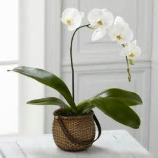 White Plalaenopsis Orchid in Daly City CA, Mission Flowers