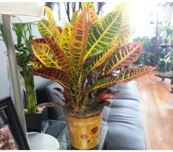 Fall Croton Plant in Bradenton FL, Ms. Scarlett's Flowers & Gifts