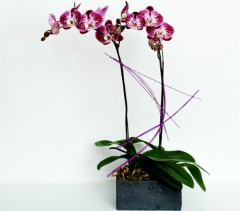 Brilliant Orchids in Calgary AB, The Flower Jug