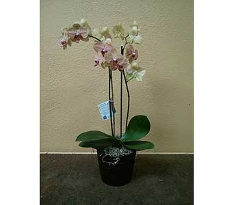 Orchid Plant in Rancho Cordova CA, Roses & Bows Florist Shop