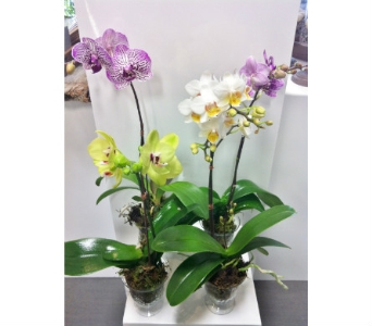 Teacup Orchid Plant in Thornhill ON, Orchid Florist