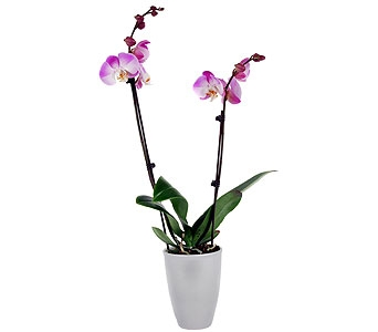 Phalaenopsis Orchid Plant, Double Spike in Madison WI, Felly's Flowers