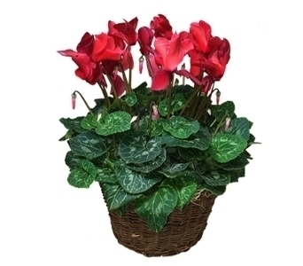 Cyclamen in Little Rock AR, Tipton & Hurst, Inc.