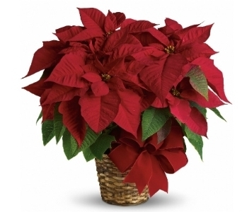 Red Poinsettia in Silver Spring MD, Bell Flowers, Inc