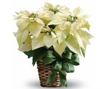 White Poinsettia in Silver Spring MD, Bell Flowers, Inc