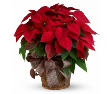 Large Poinsettia in Silver Spring MD, Bell Flowers, Inc