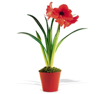 Amaryllis in Little Rock AR, Tipton & Hurst, Inc.
