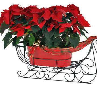 Double Poinsettia Sleigh in Madison WI, Felly's Flowers