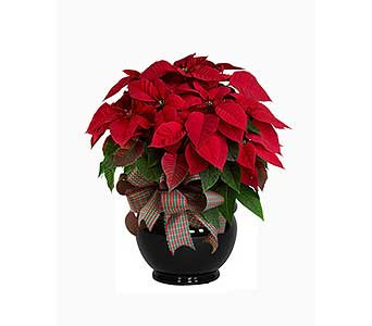 Premium Red Poinsettia in Palm Springs CA, Palm Springs Florist, Inc.